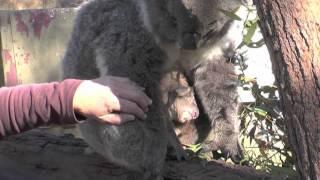 Koala Baby - Suzie