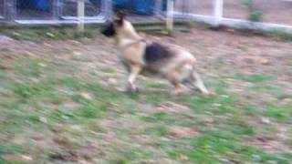 German Shepherd Puppies Kenja Kennels Long Island New York R Comin For Sale Annie Short Gait