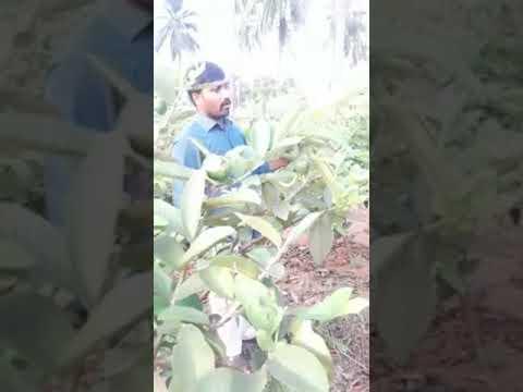 Repeat Taiwan Guava   Cultivation Practices    ETV Annadata