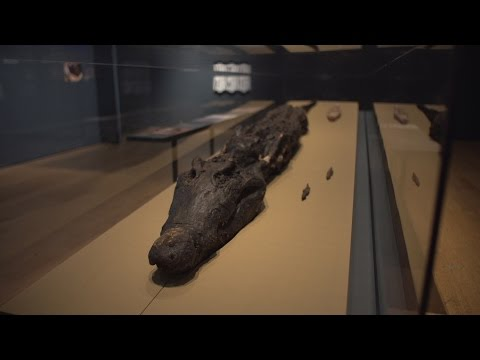 Conservation of a crocodile mummy