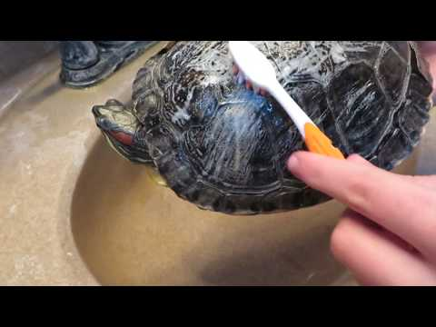 how to clean a turtle's shell