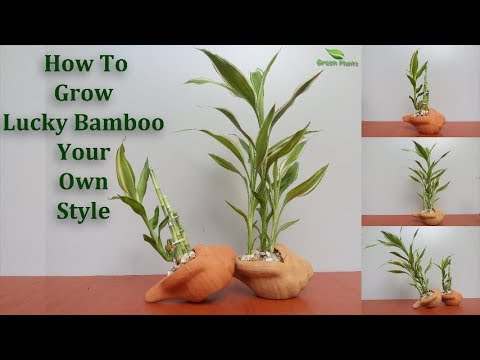 how-to-grow-lucky-bamboo-your-own-style-|-lucky-bamboo-growing-and-care-tips(subtitle)//green-plants