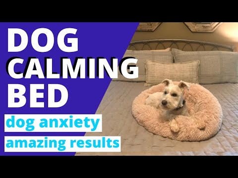 we-got-a-calming-bed-for-our-dog-with-anxiety-~-white-miniature-schnauzer
