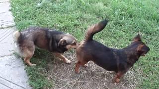 Животный мир - вязка дворовых собак
