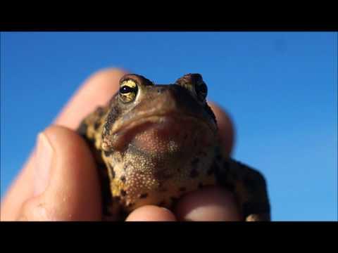 Croaking Toad