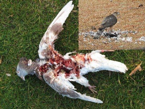 Начинаются жесткие атаки ястреба/ Tough attacks of a goshawk hawk on pigeons
