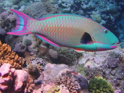 Cozumel Mexico Dive Parrot Fish Palancar Reef