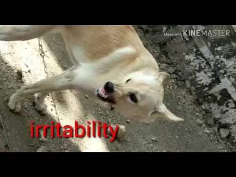 RABID DOG/పిచ్చి కుక్క/Early furious form rabies symptoms in dog/DANGEROUS ZOONOTIC DISEASE/पागल कुत