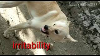 RABID DOG/Early furious form rabies symptoms in dog/  rabies /rabies dog/rabies in animals