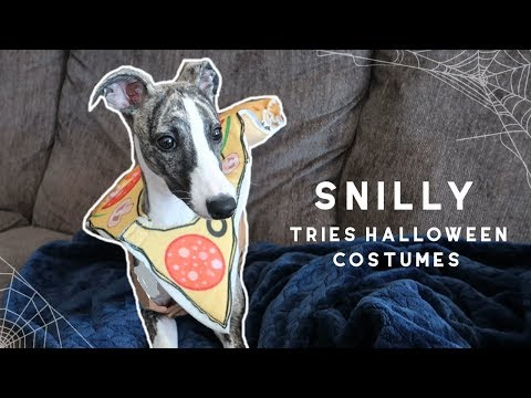 Our Whippet Puppy Tries Halloween Costumes