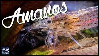 AMANOGARNELEN | Haltung & Eigenarten der beliebtesten Garnele im Aquascaping | AquaOwner