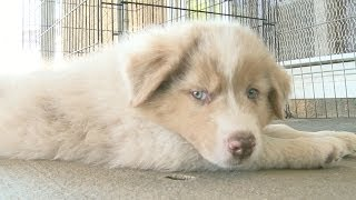 Australian Shepherd Puppy Sits By The Fan, Crosses His Back Legs