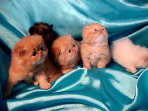 La Vecchia Torre , cuccioli persiani nati 1,02,2010