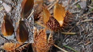 04 | Bushcraft Pflanzen: Bucheckern, kleine Nüsse - ölhaltig!