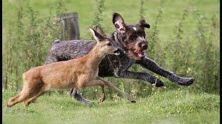 Собаки породы Дратхаар!