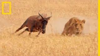 Une lionne essaie d'attraper l'antilope la plus rapide d'Afrique