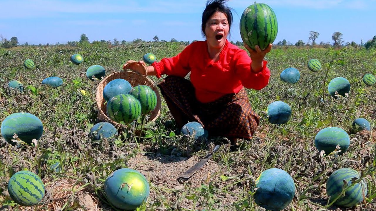 woman find food meet watermelons near the river- steam fish for dog- cooking in forest HD