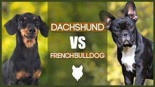 DACHSHUND VS FRENCH BULLDOG