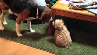 岐阜のお姉ちゃんがビーグル犬の「ハム」を連れて遊びにきました。血は...