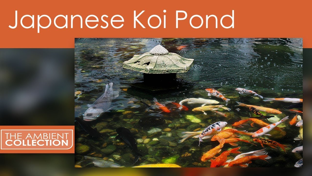 Zen dvd a beautiful relaxing japanese koi pond with for Beautiful koi ponds