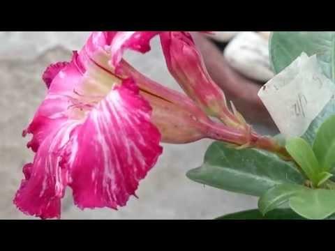 Hand Pollinating Adenium (Waterfalls)