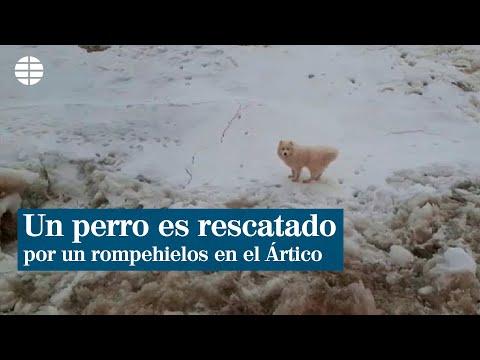 Un perro es rescatado por un rompehielos en el Ártico