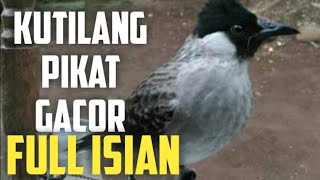 Burung Kutilang Pikat Gacor Ribut Full Isian Emosi Di Alam Liar Youtube