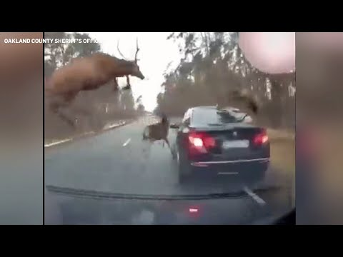 Herd of deer leaps over moving vehicle to avoid crash
