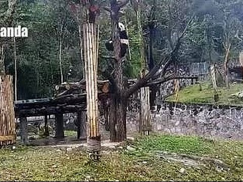 Bao Bao and the Treetop Snack