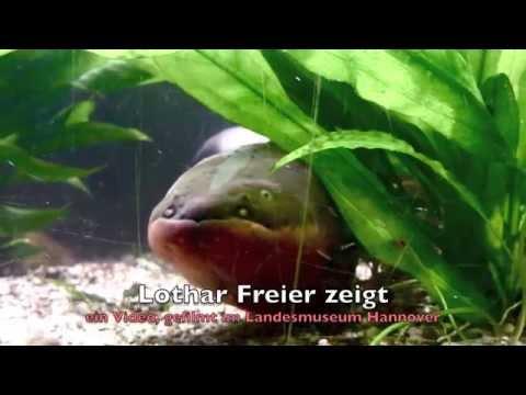 Der Zitteraal The Electric Eel Youtube