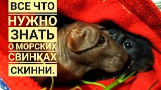 Морские свинки все что нужно знать.Лысые морские свинки Скинни!Посмотри и не говори,что не видел!