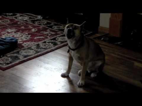 New Guinea Singing Dog Howl