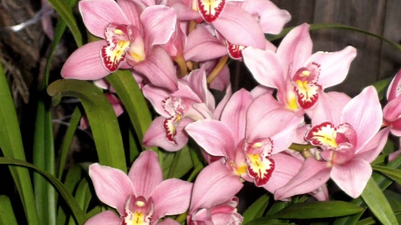 Orchids cymbidium flowers growing in southern california for Best flowers to grow in california