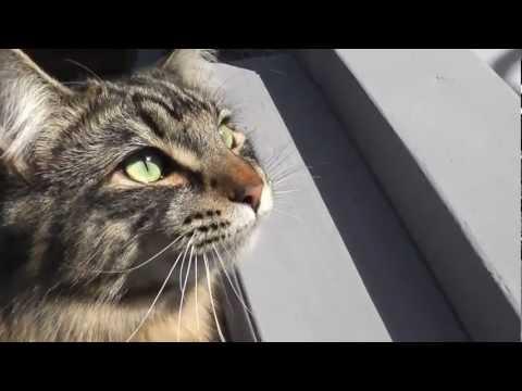 Cute Talking Maine Coon Cat