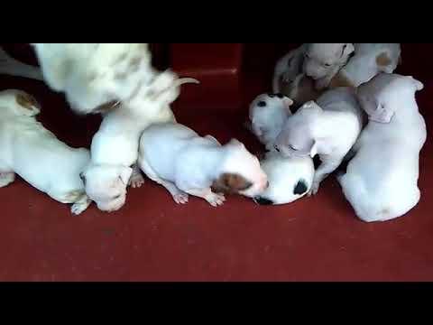 Hermosos cachorros pitbull en venta 7341371677 para más inf.
