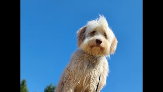 Muffin the Australian Labradoodle - 3 Weeks Residential Dog Training