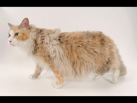 Laperm de Pelo largo / Raza de Gato