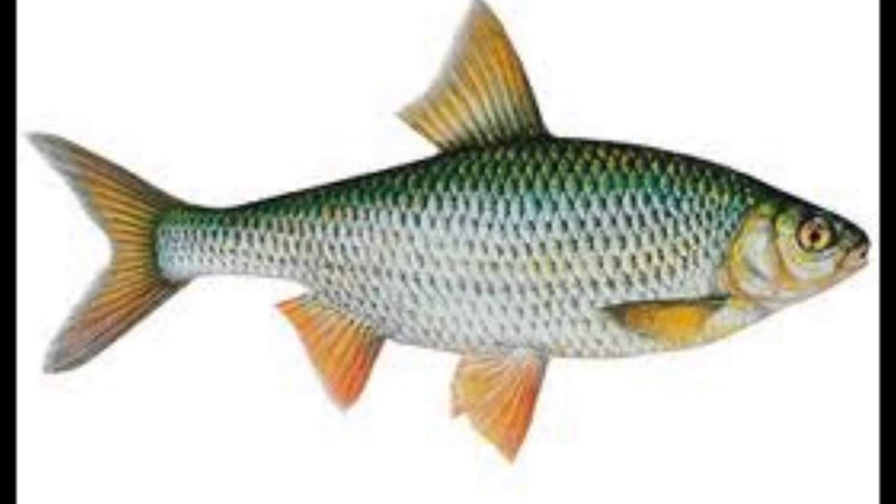 Les poissons d 39 eau douce youtube for Poisson tropicaux eau douce