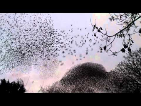 Large starling swarm display Utrecht