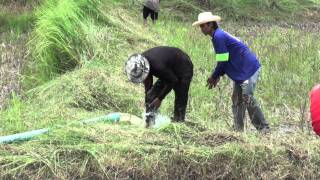 Rice Farming In Isaan Thailand