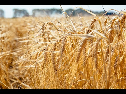 SINGLE MALT: Czech beer, the Moravian barley harvest and the story of brewing's forgotten hero