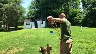Abused dog basic leash obedience