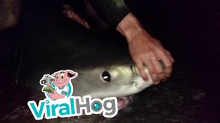Fishermen Catch and Release Great White Shark || ViralHog