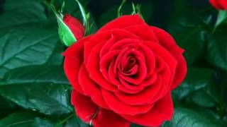 видео Доставка цветов круглосуточно - дарите букеты через Интернет