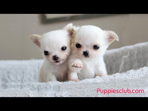 Cutest Chihuahua Puppies Video Compilation