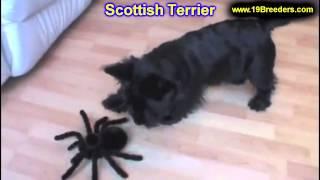 Scottish Terrier, Welpen, Für, Verkauf, In, Berlin, Deutschland, Hamburg, München, Köln