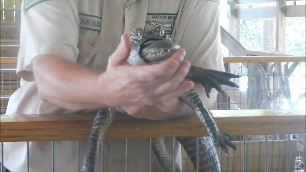 Hugh Taylor Birch State Park Alligator