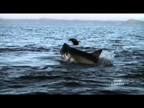 Planet Earth: Great White