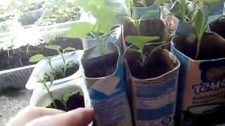Небольшой огород на подоконник,абрикос первый опыт