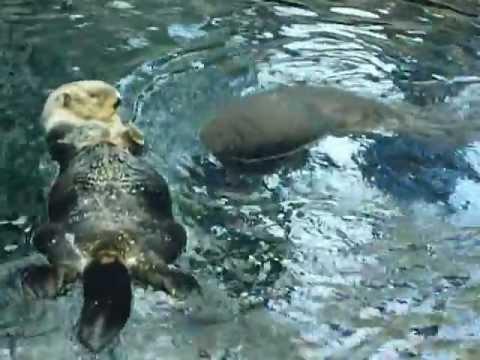 Le lontre di mare vincono